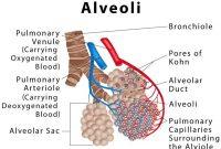 √ Alveolus : Pengertian, Fungsi, Penyakit, Ciri dan Struktur Terlengkap