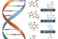 √ DNA (Dioxyribonucleic Acid) : Pengertian, Fungsi, Sifat, Ciri dan Struktur Terlengkap
