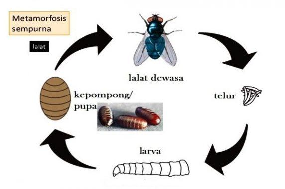 √ Metamorfosis Lalat : Pengertian dan Proses Tahapannya Terlengkap