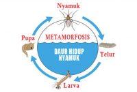 √ Metamorfosis Nyamuk : Pengertian dan Proses Tahapan Terlengkap