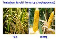 √ Angiospermae : Pengertian, Ciri, Manfaat, Klasifikasi dan Contoh Terlengkap