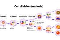 √ Meiosis : Pengertian, Ciri, Tujuan, Perbedaan dan Tahapan Terlengkap