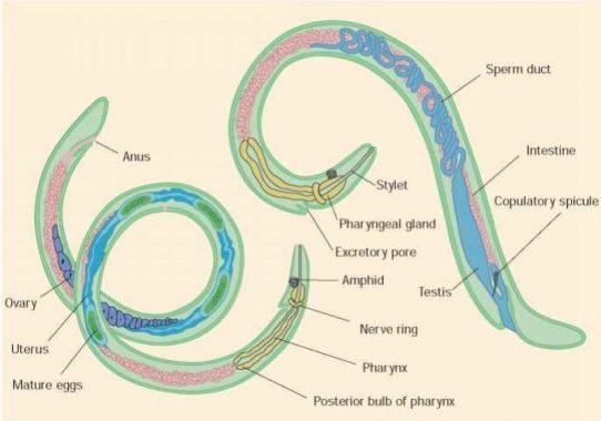 √ Nemathelminthes : Pengertian, Sistem Organ, Struktur, Ciri dan Klasifikasi Terlengkap