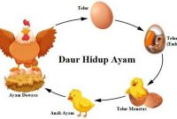 √ Daur Hidup Ayam Terlengkap